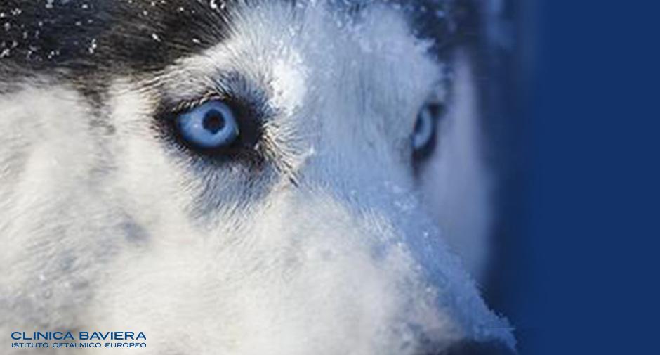 Gli occhi dei siberian husky blog di clinica baviera italia - Occhi specchio dell anima ...