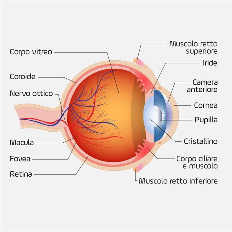 parti dell'occhio